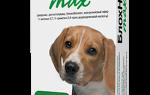 Лучшее средство от ушных клещей у собак. Лечение народными методами. Симптомы отодектоза у собак