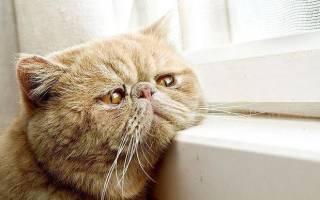 Лечение гепатита у котов. Гепатит у кошек: симптомы и лечение. Возможно ли инфицирование человека кошачьим гепатитом