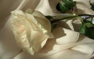 Белые розы что значит. К чему дарят белые розы: сведения из истории. Кому дарят белые розы