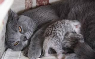 Рождение котят: как помочь кошке при родах (памятка для владельцев племенных кошек). Видео о поведении кошки перед родами. Кошка родила мертвого котенка и больше не рожает что делать