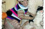 Сшить одежду кошке. Выкройка одежды для кошек Донских Сфинксов: Универсальная выкройка