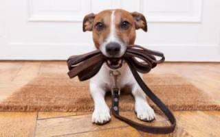 Приучаем щенка к поводку: подробная инструкция. Как приучить щенка к поводку? Полезные советы