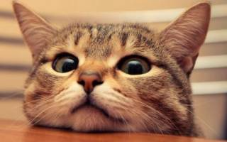 Кровь в моче у кота помощь. Что делать, если у кота красная моча