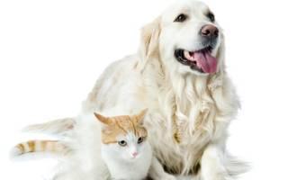 Взрослая кошка и щенок как подружить. Как подружить кошку с собакой в квартире: рекомендации и практические советы