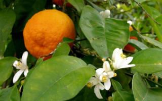 Цитрусовые ароматы. Цитрусовые ароматы – оптимистичная парфюмерия